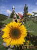 A sunflower at Cameron Highlands Rose Center