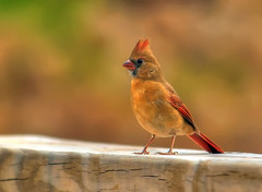 On A Footbridge at Lake Elkhorn (ozoni11) Tags: bird nature birds animal animals interestingness nikon cardinal bokeh maryland explore 36 cardinals columbiamaryland d300 lakeelkhorn interestingness36 i500 michaeloberman explore36 ozoni11