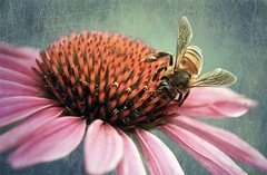 30 Days of gratitude- Day 16 (aussiegall) Tags: summer flower buzz wings echinacea bee textures irediscovered thisisanoldphoto vosplusbellesphotos gratutude florabelltextures 30daysofgratitudeday16