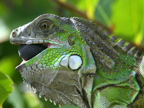 Iguana eating Cocoplum 20091120