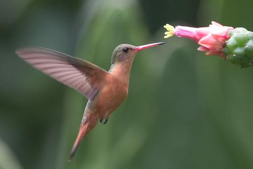Cinnamon Hummingbird (Amazilia rutilia)