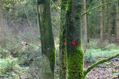 red dot (Birgit Speulman) Tags: wood trees bomen paint bos rood friesland verf stammen getekend