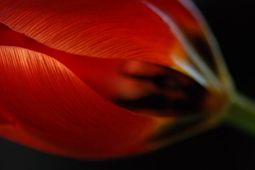 Tulip by Victoria Bennett Beyer.