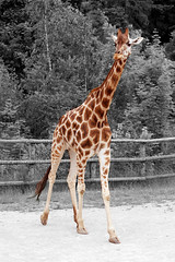 Giraffe (Oscar von Bonsdorff) Tags: summer cute smart june juni canon funny prague sweet good fine prag praha praga tschechien czechrepublic info giraffe elegant fin 2009 photographing praag girafa rpubliquetchque xsi veryfunny girafe giraf jirafa giraff tsjechi tjekkiet st repblicacheca  giraffacamelopardalis describing keskuu repubblicaceca cehia esko tjeckien praguezoo csehorszg yrafa sp zrafa kirahvi tsekki  touristpictures prg 450d cechia tkkland  irafa  zooprag ekcumhuriyeti tehhi     ynphobblaghtheck pragdjurpark zoodeprague zoologickzahradapraha prahanelintarha infopictures informationpictures describingpictures