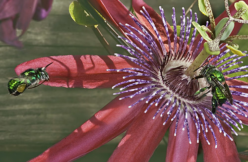 Green Orchid Bee in Flight over Passiflora
