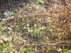flori ghiocei by sorin frumuseanu