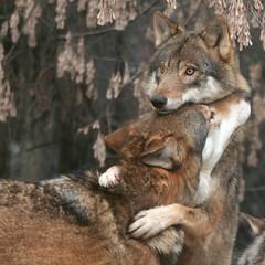 [フリー画像] 動物, 哺乳類, イヌ科, 狼・オオカミ, カップル (動物), 201005180500
