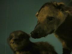 coatis (noj.johnson) Tags: tring naturalhistorymuseum nhm coati