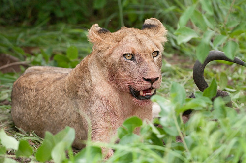 Lioness Eating Wildebeest
