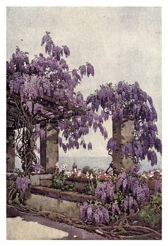 010-Wisteria en Santa Lucia-Madeira-The flowers and gardens of Madeira - Du Cane Florence 1909
