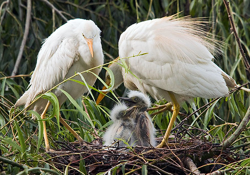 Cattle Egrets Nesting