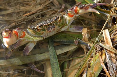 Maltese Freshwater Crab