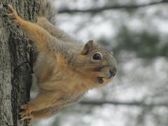 Anglų lietuvių žodynas. Žodis squirrel corn reiškia voverė kukurūzų lietuviškai.