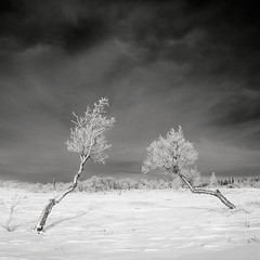 Together (p i c a) Tags: winter mountain snow tree vinter frost sweden bjrk treeline sn jmtland birchtree fjllen storulvn snasahgarna kalfjll trdgrns