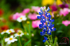 Texas Bluebonnet (Visualist Images) Tags: photography images bluebonnets texaswildflowers texasbluebonnets visualist austinphotographer johnrrogers austintexasphotographer johnrrogersphotography