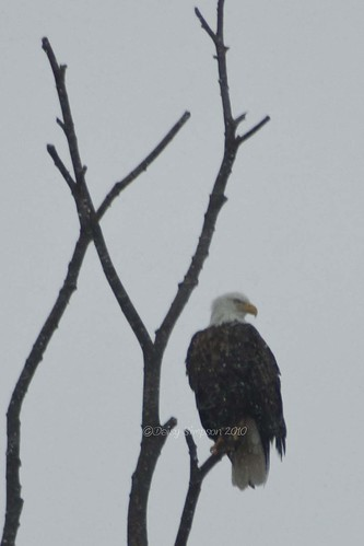 snowy eagle
