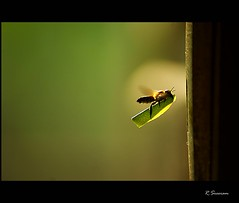 Flight (R.Sreeram) Tags: door macro insect flying leaf with hole availablelight sony air flight kerala bee handheld alpha keyhole a200 tamron kollam 70300 telemacro explored