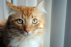 DSC_0010 (M.Bohm Photography) Tags: california county orange pet cute cat la los nikon feline angeles whiskers southern domestic socal ventura d3000