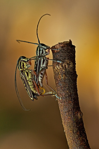 long-horned beetle in love - 1