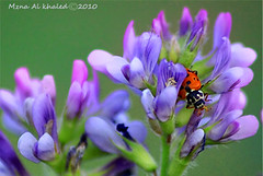lady (mzna al.khaled) Tags: flowers flower macro green colors beautiful insect focus insects saudi ladybird natrue            macrolife