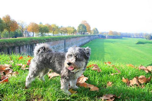 Foto cane divertente sulle mura lucchesi