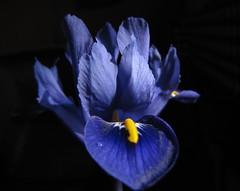 Iris reticulata (flips99) Tags: blue iris flower bulb garden march spring blomst hage 2010 blå irisreticulata løk våriris canonpowershotsx200is