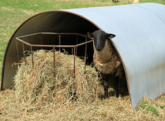 Sheep 201: Housing on outdoor shelter plans, rope making plans, simple shelter plans, bus shelter plans, shelter building primitive, underground shelter plans, wood carving plans, animal shelter plans, diy shelter plans, single slope pole barn plans, backyard shelter plans, livestock shelter plans, tornado shelter plans, picnic shelter plans, shelter building ideas, shelter architecture, shelter building techniques, shelter building kits, shelter building materials, horse shelter plans,