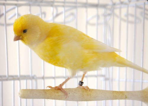 lemon.the.canary