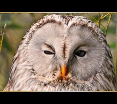 Winking owl (Tambako the Jaguar) Tags: portrait bird closeup zoo switzerland eyes nikon close zurich gray explore owl zürich d300 uralowl strixuralensis