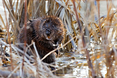 Springtime in the Marsh (Don Komarechka) Tags: ontario canada cute nature wet closeup swimming canon rodent spring wildlife cattails swamp marsh hdr muskrat mamal foraging pseudohdr ef100400mmf4556lisusm minesing canoneos5dmarkii