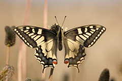 An early papilio machaon (giuseppedr) Tags: butterfly bravo explore farfalla papiliomachaon abigfave anawesomeshot thisoneisamalelookhowhairyitis