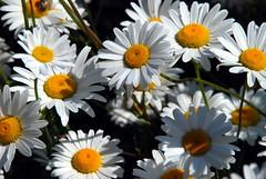 Daisies (karenpeacock) Tags: daisies washington daisy pugetsound orcasisland sanjuanislands