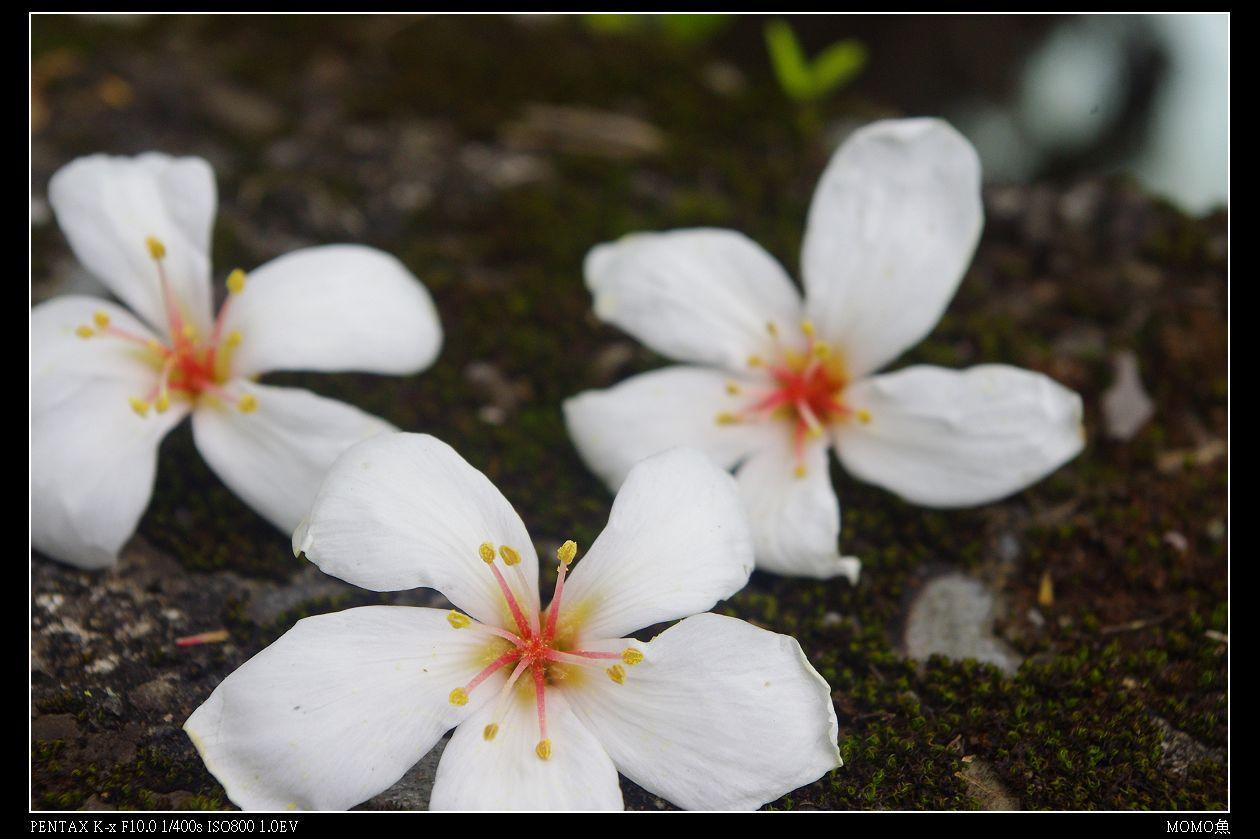 0417烏來。油桐花