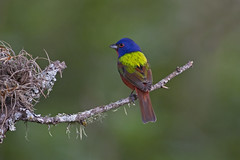 Painted Bunting (Stephen J Pollard) Tags: bird ave bunting texashillcountry paintedbunting wow1 wow2 wow3 wow4 wow5 colorn mygearandme colorndesietecolores tnc11 blockcreeknaturalarea