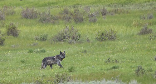 Black wolf - Yellowstone National Park by Mark/MPEG (Midwest Photography Enthusiasts Group)