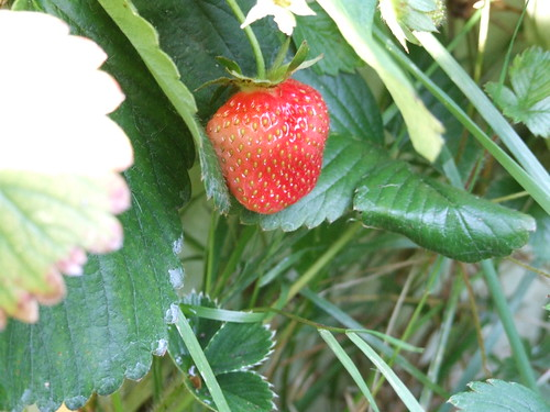 out of season strawberry