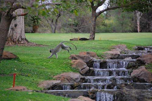 monkeys on the golf course