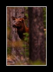 Elk (Alberto Cueto) Tags: autumn usa fall animals season unitedstates wildlife places wyoming elk wy grandtetonnationalpark