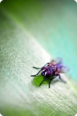 Supafly. (digitalpimp.) Tags: macro insect fly interestingness philippines scout explore vignette housefly diptera metromanila pilarvillage theworldthroughmyeyes digitalpimp gnneniyisi laspiascity sonya300 mahoganyroad nathanhayag konicaminoltaafdt100mmf28macromaxxum bananats thebestofdayflickrawardbeautifulphoto