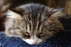 Lulu's Sunday afternoon (hehaden) Tags: face animal cat sleep tabby kitty sleepy cc100 friendsofzeusphoebe