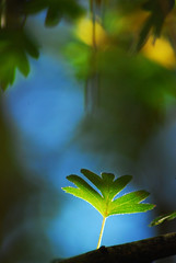 Touch of light (nexus6) Tags: hoja backlight contraluz leaf nikon dof bokeh 115 cazorla 114 113 espino 70300 d80 bokehlicious