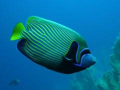 Angel Fish (Nelliox) Tags: fish angel underwater diving angelfish plongée