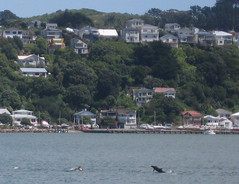 Guess Who's Coming to Dinner? (Theremina) Tags: fishing dolphin joy dolphins wellington miramar evansbay