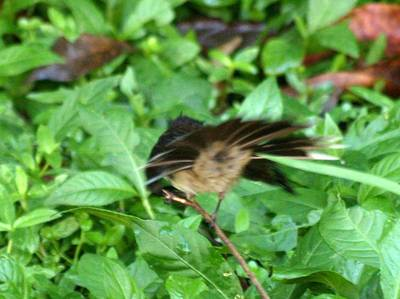 Pied Fantail showing vent