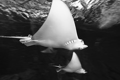 The Joker and his friend (Aasprong Photography) Tags: bw fish water smile contrast blackwhite stingray joker 1020mm seaworld aasprongphotography