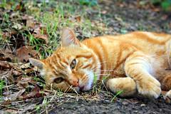 miaooo... (ROSSANA76 Getty Images Contributor) Tags: riposo felino miao terra rosso gatto domestico animale fusa baffi
