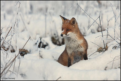 Fox in the snow... (Alex Verweij) Tags: wild snow netherlands canon europe sneeuw nederland posing explore fox surprise catch wilderness almere vos specanimal 40d abigfave theunforgettablepictures alexverweij 100commentgroup mygearandmepremium mygearandmebronze mygearandmesilver mygearandmegold mygearandmeplatinum bbng
