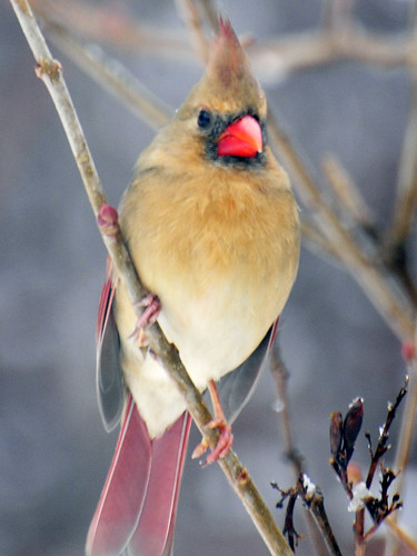 female cardinal snow 4