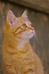 Katinukas (Zitute) Tags: katinas