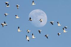 Snow Gooses (Steve Byland) Tags: moon snow bird nature canon goose 7d chen merrillcreek naturesfinest caerulescens newjerseyusa
